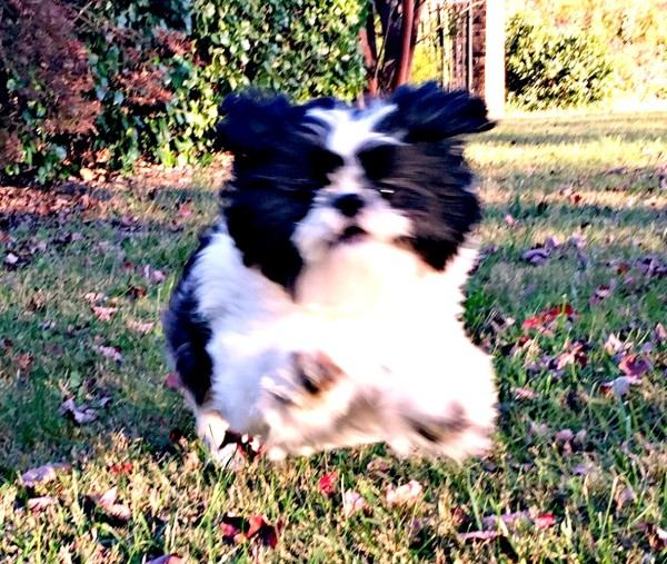 Shih Tzu running and exploring his Wild Side with Natural Balance Wild Pursuit