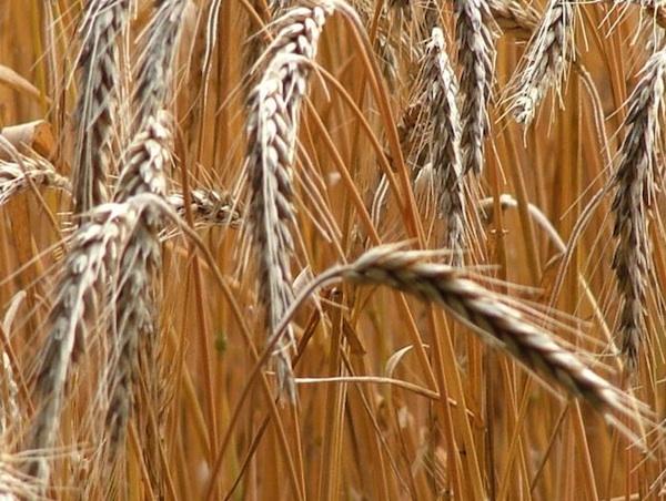 GlutenFreeGPImage wheat/gluten