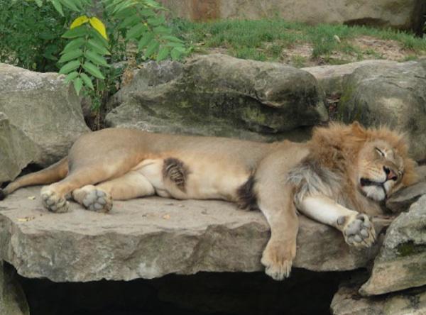 LionSleepingAtZoo 5 ways to get a good nights sleep