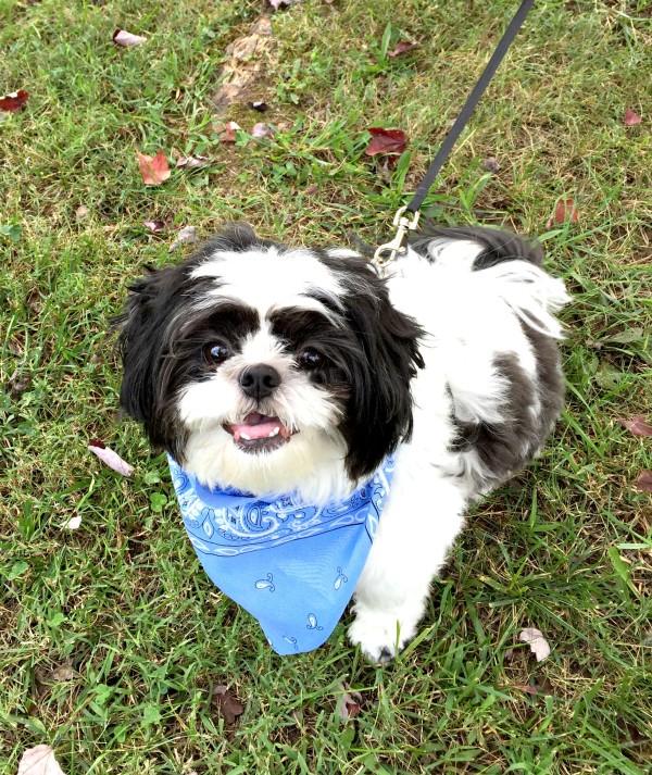 Baxter our Shih Tzu dog DNA testing